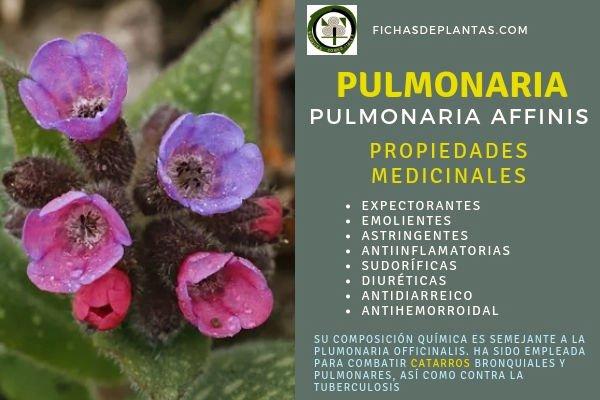 Pulmonaria Propiedades