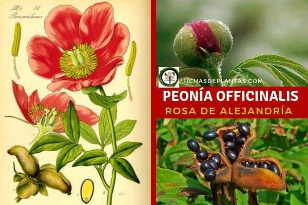 Rosa de Alejandría Planta Ranunculáceas
