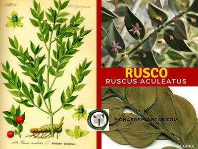 Rusco Planta Medicinal