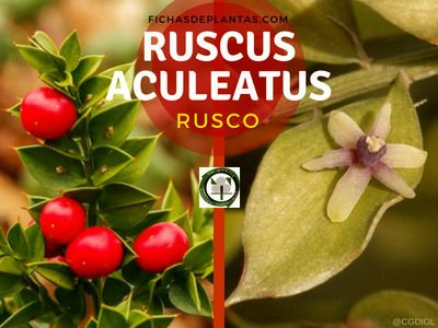 Ruscus aculeatus, Rusco