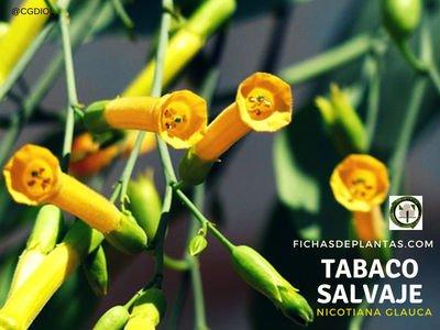 Flores del Tabaco Salvaje o Tabaco Moruno