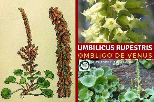 Umbilicus rupestris, Ombliguera