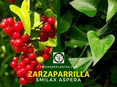 Zarzaparrilla Planta Medicinal