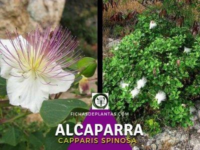 Alcaparra Planta