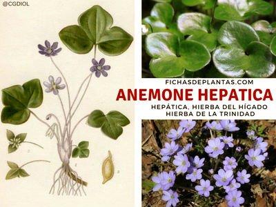 Anemone hepatica, Hepática Hierba medicinal