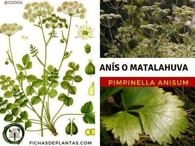Anís Planta Medicinal