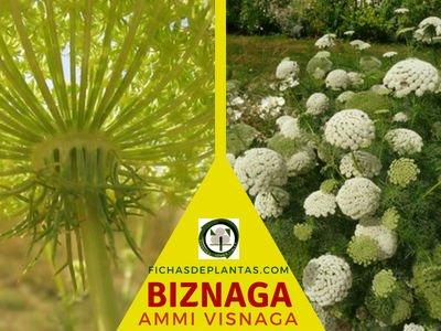 Biznaga, Planta Medicinal