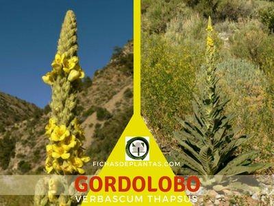 GORDOLOBO, Verbascum thapsus | DESCRIPCIÓN BOTÁNICA Y PROPIEDADES