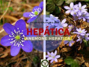 Hepática Planta del Hígado
