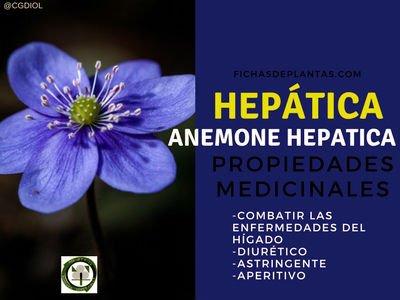 Hepática Propiedades Medicinales