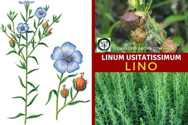 Linum usitatissimum, Lino