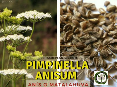 Anís, Pimpinella anisum | Fichas de Plantas Medicinales