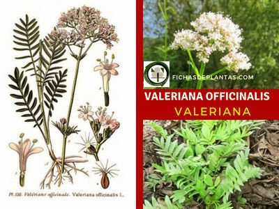 Valeriana officinalis, Valeriana