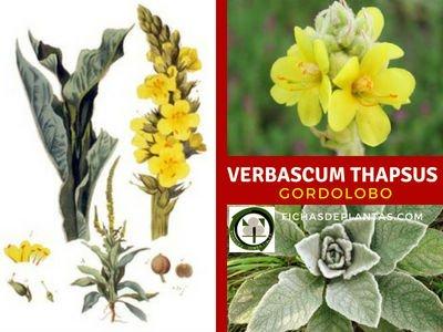 Verbascum thapsus, Gordolobo