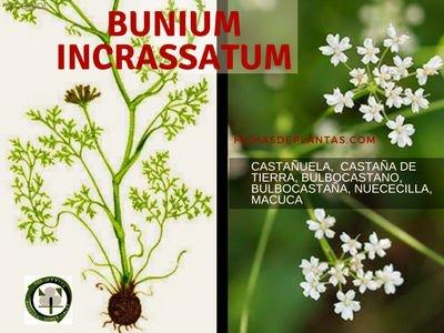 Bunium incrassatum, Castañuela
