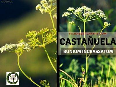 Bunium incrassatum o CASTAÑUELA | Fichas de Plantas