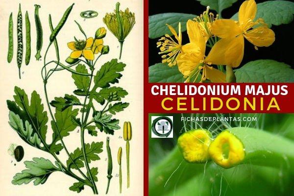 Chelidonium majus, Celidonia