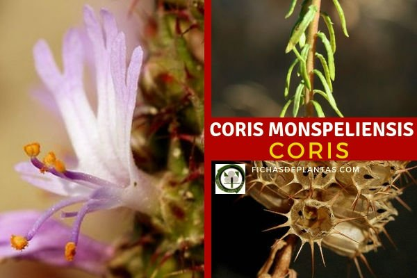 Coris monspeliensis, Coris