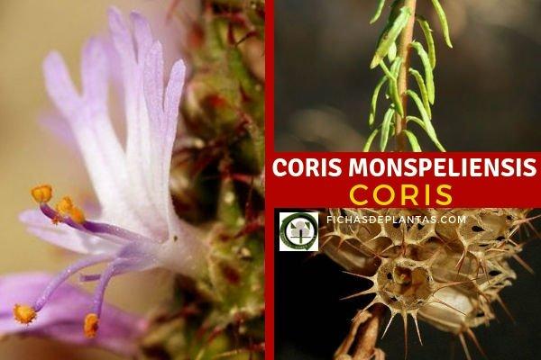 Coris monspeliensis, Coris