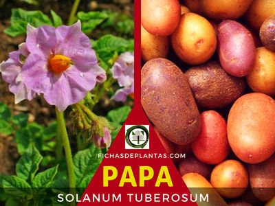 LA PAPA O PATATA, Solanum tuberosum| Fichas de Plantas