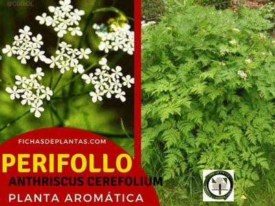 Perifollo Planta Aromática