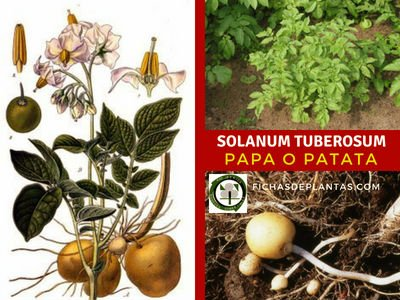 Solanum tuberosum, Papa