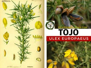 Tojo o Toxo Planta Medicinal