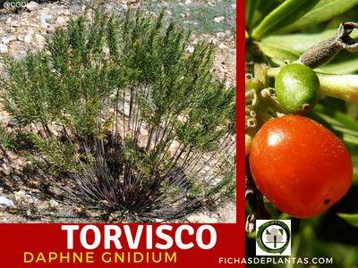 Torvisco Planta Medicinal