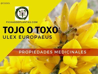 Toxo Propiedades Medicinales