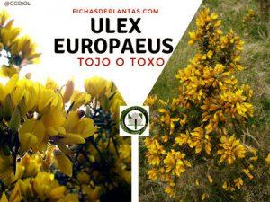 Ulex europaeus, Toxo o Tojo