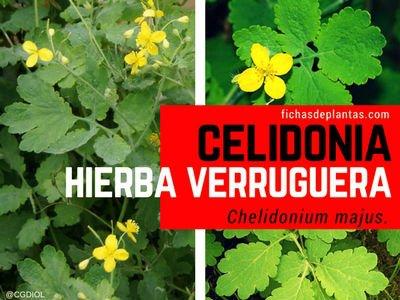 CELIDONIA, Chelidonium majus | Propiedades y Usos