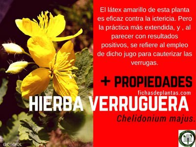 hierba-verruguera-propiedades