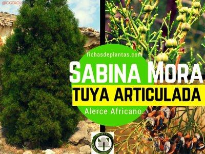 Tuya articulada árbol de la familia Cupresaceae