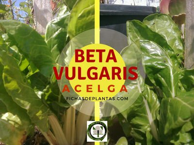 Acelga o  Beta vulgaris