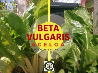 Acelga o  Beta vulgaris | FICHAS DE PLANTAS
