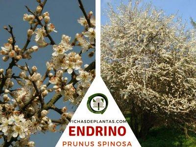 Endrino, Prunus spinosa
