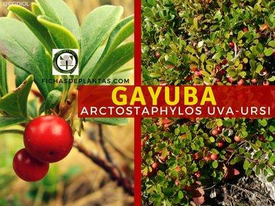 GAYUBA o Arctostaphylos uva-ursi | Fichas de Plantas Medicinales