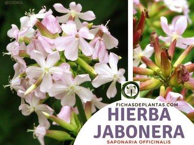 Hierba Jabonera