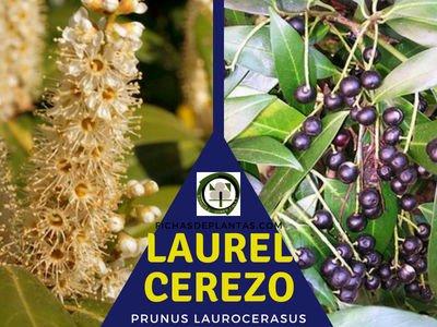 Laurel cerezo, Prunus laurocerasus