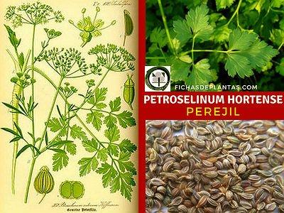 Petroselinum hortensees, Perejil