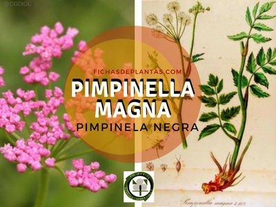 Pimpinella magna, Hierba Medicinal Pimpinela Negrala