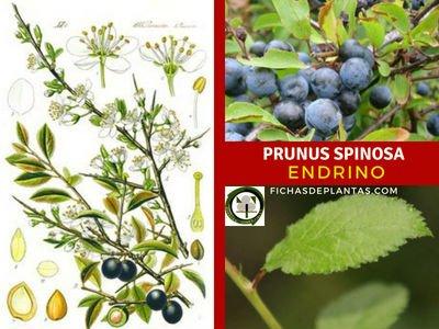 Prunus spinosa, Endrino