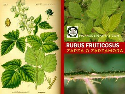 Rubus fruticosus, Zarzamora