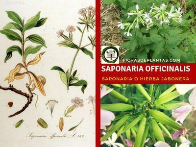 Saponaria officinalis, Saponaria