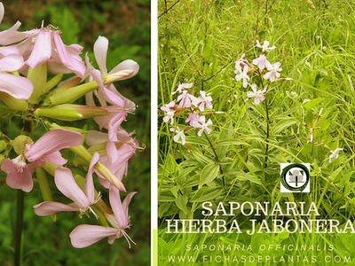 Saponaria o Hierba Jabonera, Saponaria officinalis | Descripción y Propiedades