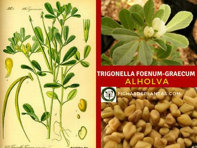 Trigonella foenum graecum
