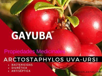 Arctostaphylos uva-ursi, Gayuba