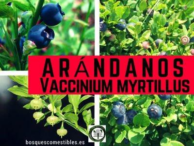 Vaccinium myrtillus, Arándanos