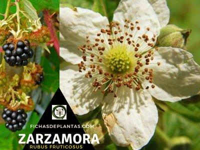 Zarza o Zarzamora, Rubus fruticosus | FICHAS DE PLANTAS