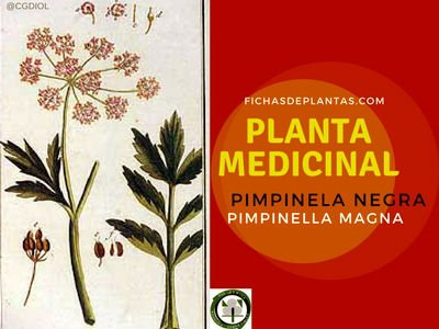 Planta Medicinal Pimpinela Negra